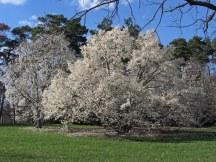 Magnolia trees © 2014 Karen A Johnson