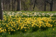 Daffodils at the Arboretum © 2014 Karen A Johnson