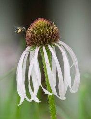 Flying bee © 2014 Karen A. Johnson