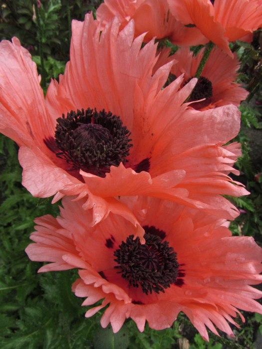 Poppies © 2014 Karen A. Johnson
