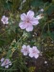 Pink striped flower © 2014 Karen A. Johnson