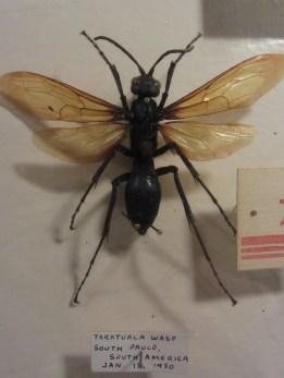 Tarantula wasp © 2014 Karen A. Johnson