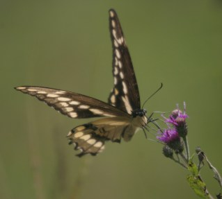 Giant Swallowtail © 2014 Karen A. Johnson