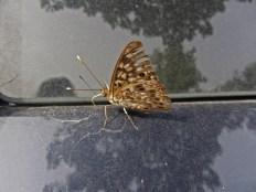 Hackberry butterfly on my van © 2014 Karen A. Johnson