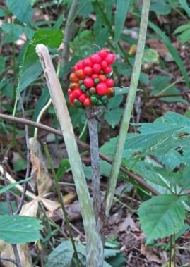 Jack-in-the-pulpit berries © 2014 Karen A. Johnson