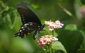 Pipevine Swallowtail 3 © 2014 Karen A. Johnson