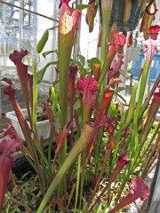 Tall pitcher plants © 2014 Karen A. Johnson
