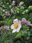 Fall anemone © 2014 Karen A. Johnson