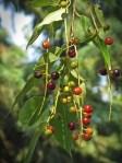 Wild Cherry 1 © 2014 Karen A. Johnson
