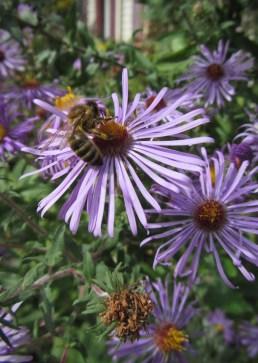Aster with honeybee 2 © 2014 Karen A. Johnson