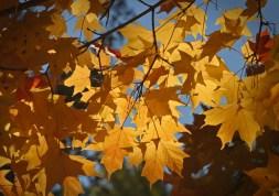Yellow maple leaves © 2014 Karen A. Johnson
