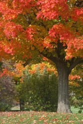 Maple tree © 2014 Karen A. Johnson