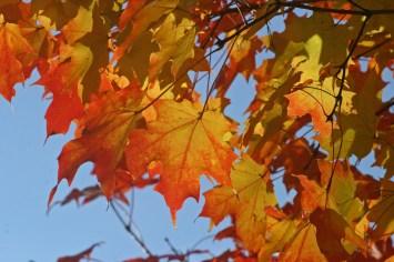 Maple leaves 2 © 2014 Karen A. Johnson