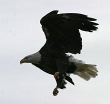 Eagle close-up © 2015 Karen A. Johnson