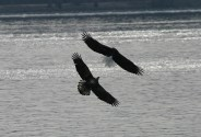 Eagles chasing © 2015 Karen A. Johnson