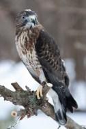 Broad-winged hawk © 2015 Karen A. Johnson