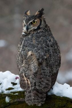 Gt horned owl 3 © 2015 Karen A. Johnson