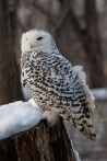Snowy owl 3 © 2015 Karen A. Johnson