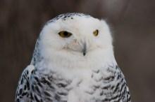 Snowy owl-head shot © 2015 Karen A. Johnson