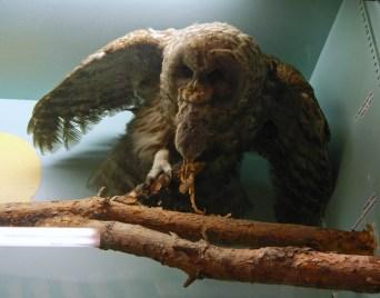 Northern Barred Owl © 2015 Karen A. Johnson