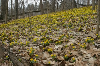 Winter aconite hill © 2015 Karen A. Johnson