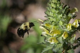 Bumblebee and lousewort © 2015 Karen A. Johnson