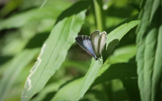 Back lit Spring Azure-wings opening © 2015 Karen A. Johnson