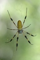 Golden silk spider-large! © 2015 Karen A. Johnson