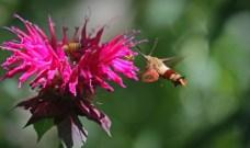 Hummingbird moth 3 © 2015 Karen A. Johnson