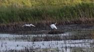 Egrets flying © 2015 Karen A. Johnson