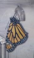 Emerging monarch 3 © 2015 Karen A. Johnson
