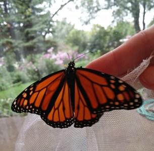 Back lit monarch © 2015 Karen A. Johnson