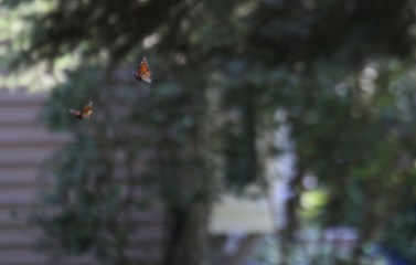 Flying monarchs © 2015 Karen A. Johnson