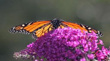 Monarch on butterfly bush-8 © 2015 Karen A. Johnson