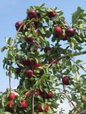 Redfree apples © 2015 Karen A. Johnson