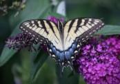 Tiger Swallowtail-female © 2015 Karen A. Johnson