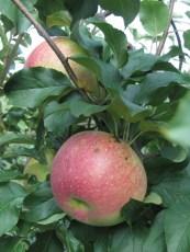Wolf River apples © 2015 Karen A. Johnson