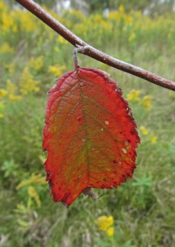 Springbrook Prairie leaf © 2015 Karen A. Johnson