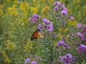 Springbrook Prairie monarch © 2015 Karen A. Johnson