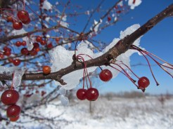 Berries and snow © 2015 Karen A. Johnson