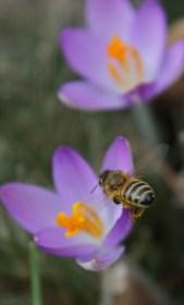 Crocus and Honeybee 4 © 2016 Karen A. Johnson