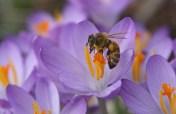 Crocus and Honeybee 8 © 2016 Karen A. Johnson