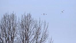 Cranes landing © 2016 Karen A. Johnson