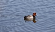 Redhead duck © 2016 Karen A. Johnson