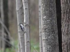Woodpecker © 2016 Karen A. Johnson