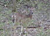 Deer chewing © 2016 Karen A. Johnson