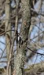 Hairy woodpecker 2 © 2016 Karen A. Johnson