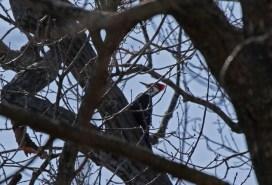 Pileated woodpecker 4 © 2016 Karen A. Johnson