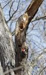 Red-bellied woodpecker 1 © 2016 Karen A. Johnson