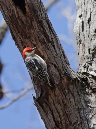 Red-bellied woodpecker © 2016 Karen A. Johnson